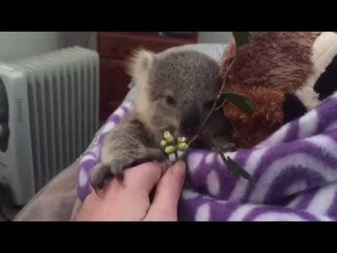 ¿Existe Algo Más Tierno Que Este Bebé Koala?