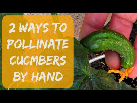 , title : 'Pollinating Cucumbers By Hand - Growing Cucumbers in Arizona 2017