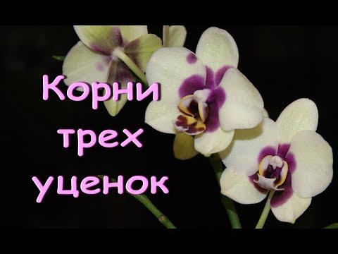 Три ОРХИДЕИ-УЦЕНКИ phal.PANDA:смотрю корни.Привет Анжелике и Валентине!
