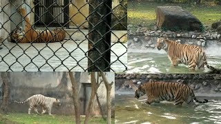 preview picture of video 'royal bengal Tiger in kolkata ZOO'