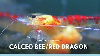 Krewetki Calceo Bee / Golden Dragon / Red Dragon