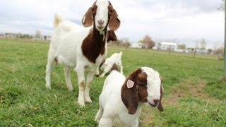 Dozens Of Baby Goats - Kids - Jumping, Yelling And Playing | HD Footage
