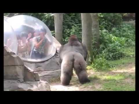 Gorilla Scares the Crap Out of Zoo Visitors