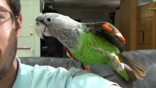 Truman Cape Parrot - Cuddly Playful Bird