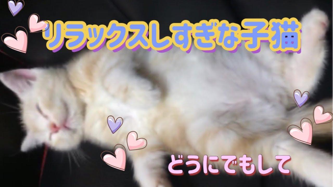 【子猫】リラックスしすぎな子猫。アメリカンショートヘア。Kitten relaxing