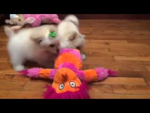 Lilly-pomapoo female playing