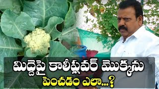 How To Grow Cauliflowers At Home || Terrace Garden Plants || SumanTV TREE