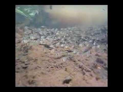 Corydoras in the Amazon