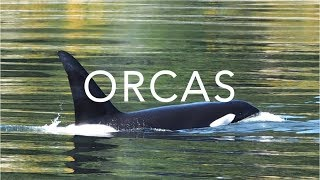 Orca Encounter | Whale Watching in Vancouver, Canada