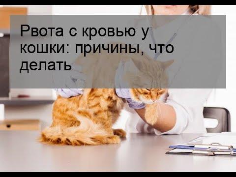 Рвота с кровью у кошки: причины, что делать