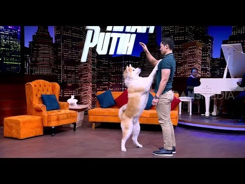 Anjing Akita Yang Setia   HITAM PUTIH (15/10/18) Part 1