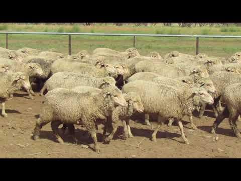 650 Mixed Sex Lambs