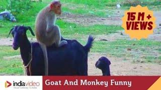 Смотреть онлайн Смешная обезьянка оседлала козу