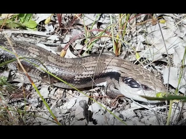 Blue-tongue-skink-bts-in