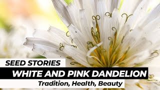 SEED STORIES | Pink And White Dandelion: Tradition, Health, Beauty