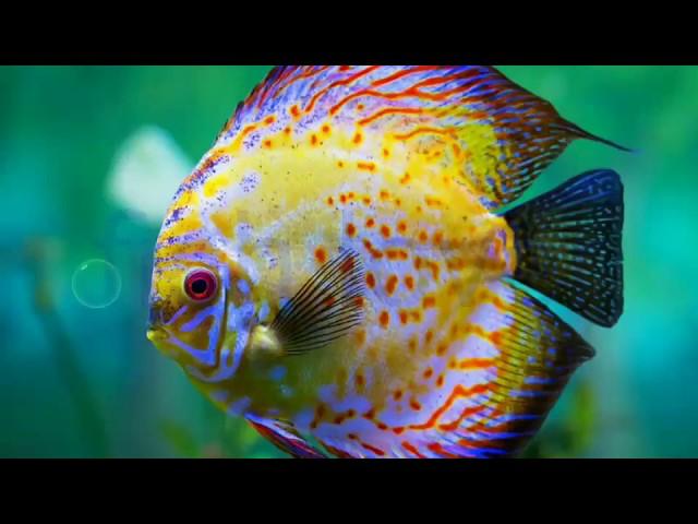 Top discus fish.......