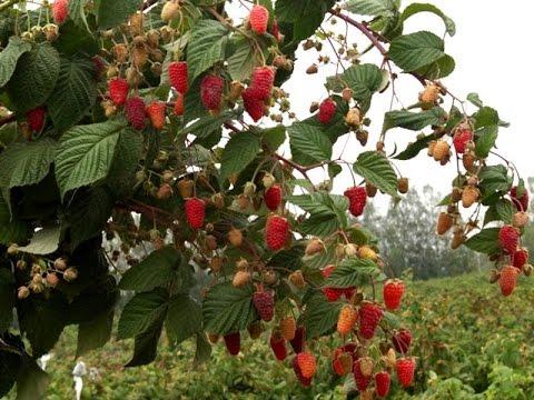 Правильная посадка малины осенью. Сорт Таруса.