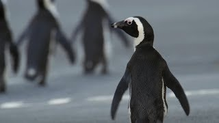 Penguin Crosses Cape Town To Find Mate | Cities: Nature's New Wild | BBC Earth