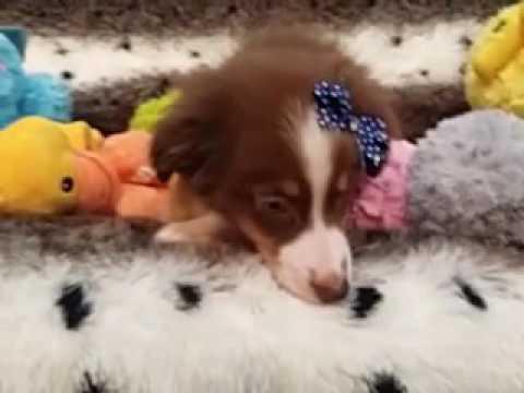 Handsome Male Mini Aussie Puppy!