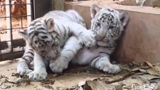 CUB CAM: 42 day old tiger cubs at play at Zoo!