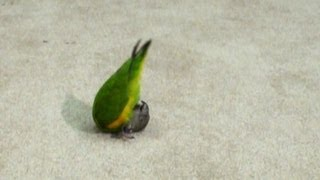 Kili Senegal Parrot - Does Somersault Flip Over Trick