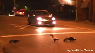 Skunks crossing State Street