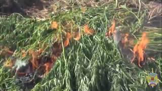 Более 2 тысяч кустов конопли уничтожили правоохранители в Подмосковье