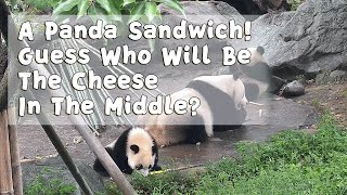 A Panda Sandwich! Guess Who Will Be The Cheese In The Middle? | iPanda
