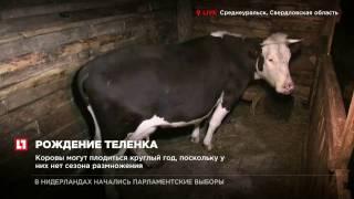 В Среднеуральске корова рожает теленочка, потомство ждут третьи сутки
