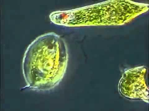 Bag rsak parazit yumurtas