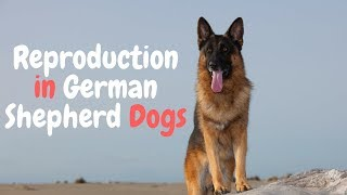 Breeding German Shepherd Dogs : What You Need to Know (2018)
