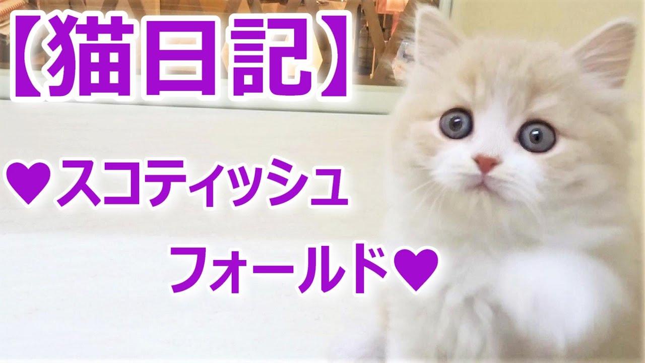 【スコティッシュフォールドちゃん♡立ち耳♡ミルクティー色】2020年5月最新、ブリーダー情報♡子猫ちゃんの動物・猫動画♡