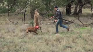 Đánh nhau với kangaroo