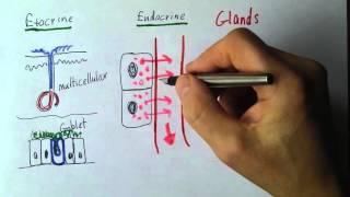 Endocrine 1, Exocrine and endocrine glands