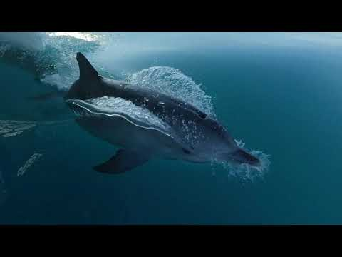 Dolphins escort Wavedancer to Port