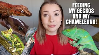 Feeding My Geckos And My Chameleons!