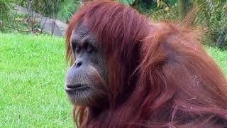 Orangutan Observation Video