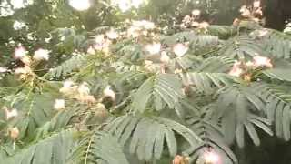 The diverse uses of the mimosa silk tree