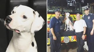 Lost Dalmatian Turns Up At Fire Station Looking For Work