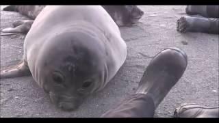 Тюлень чихает