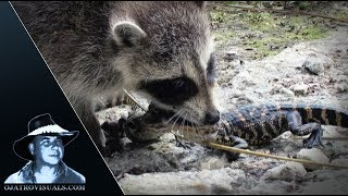 Raccoons Catching Alligator Hatchlings 01