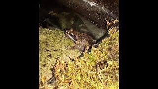 Care Guide for raising Common Frogs Rana Temporaria