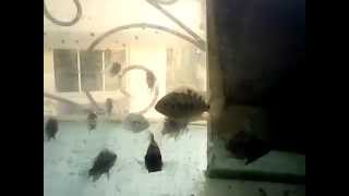 preview picture of video 'Convict Cichlid Fish Eating Dried Tubifex Worms'