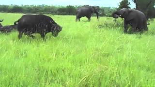 Download Video Elephant kicks a buffalo in the head MP3 3GP MP4