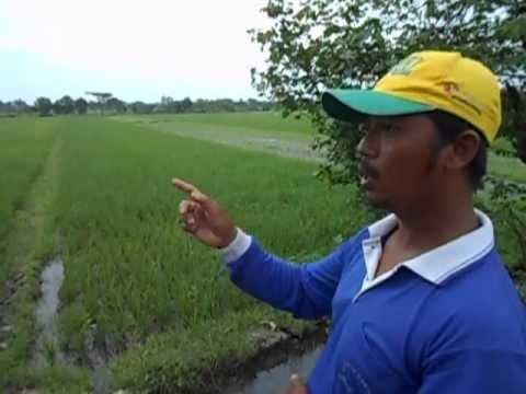 "Video ""Bebas kresek, sundep, tungro, tanpa pestisida kimia"" - Tlangu - 40 HST Tabela (tanaman padi)"
