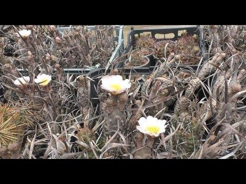Тефрокактусы обильное цветение.