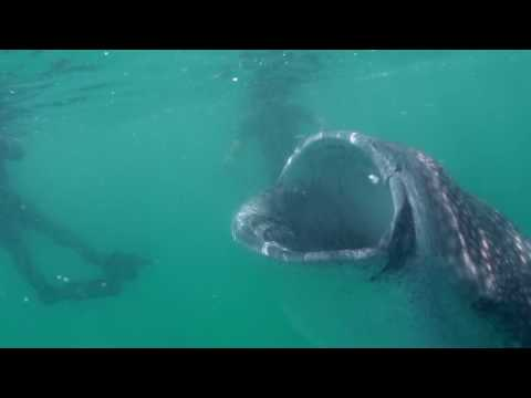 HD Whale Sharks in Holbox, Mexico – 2/2