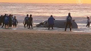 В Австралии спасли выбросившегося на берег кита (новости)