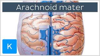 Arachnoid Mater Brain Layer - Human Anatomy |Kenhub
