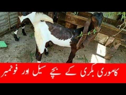 kamori goat farming in pakistan| Worlds Best Kamori goats